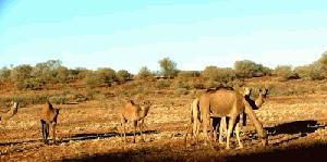 Divje kamele terorizirajo avstralsko vas