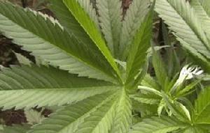 Tečaj pravilnega gojenja marihuane